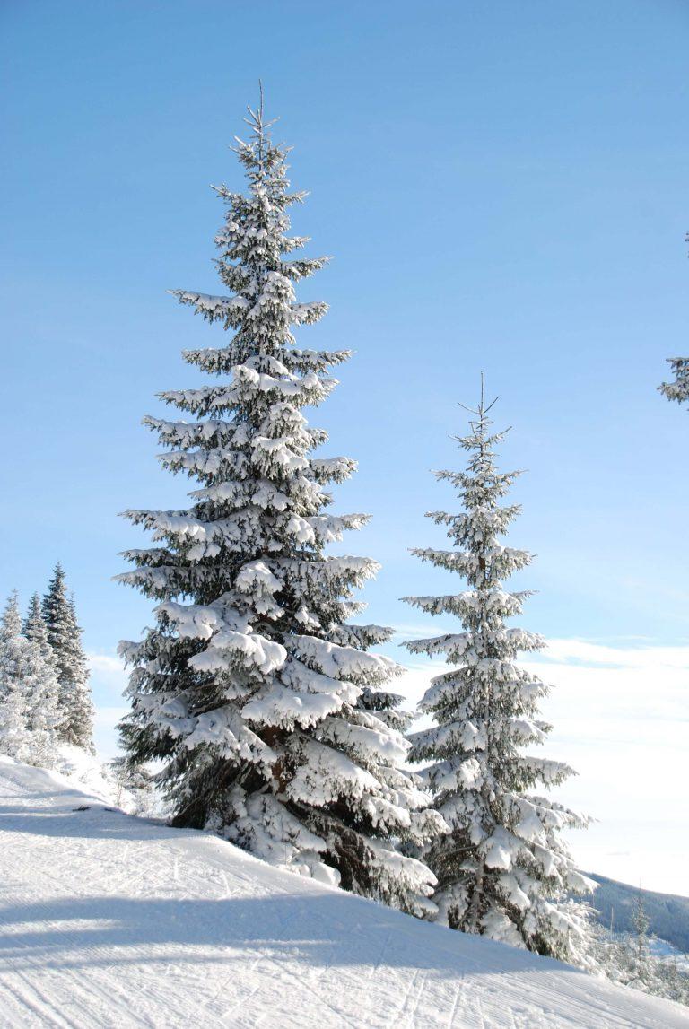 Bäume bedeckt mit Schnee